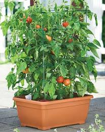tomatoes in windowbox